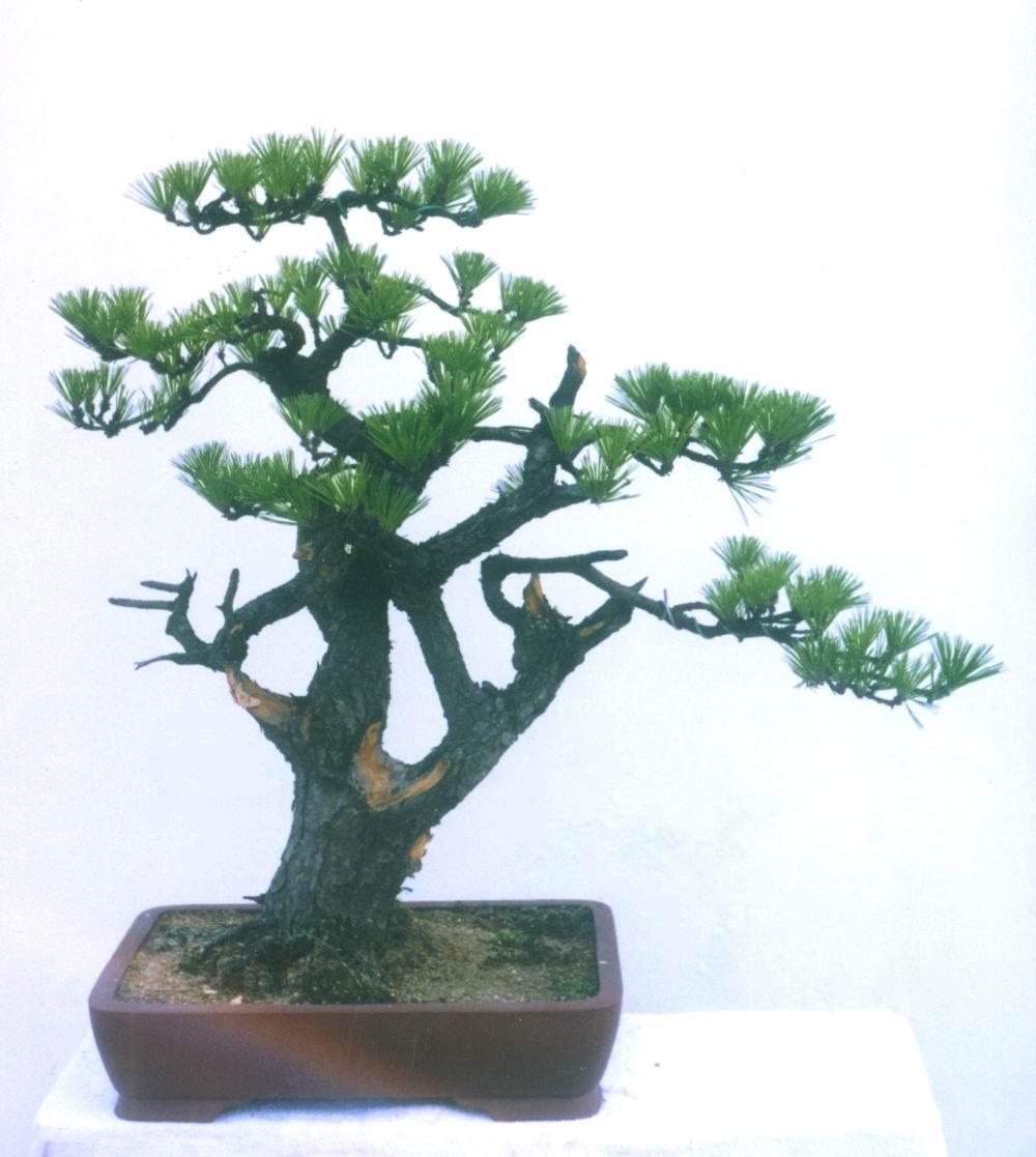 精美树木盆景欣赏(二) - 乘成 - 乘成休闲吧