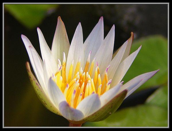 香水莲的栽培与管理(图)