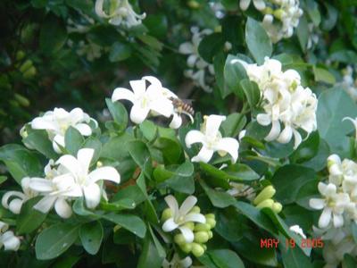 是一种四季常绿的小灌木