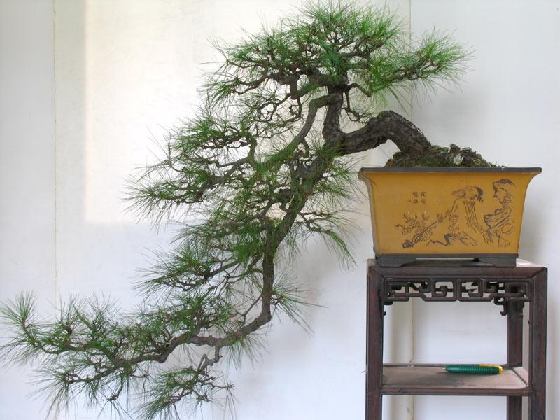 山水铁树盆景图片