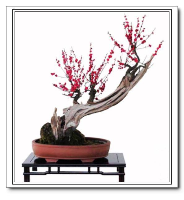 榆树盆景(图) 石榴《壮志凌云》 六月雪盆景(图) 铁树盆景(图) 盆景