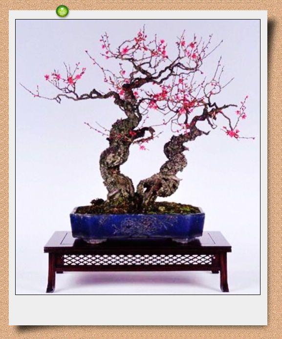 榆树盆景(图) 石榴《壮志凌云》 六月雪盆景(图) 铁树盆景(图) 盆景制