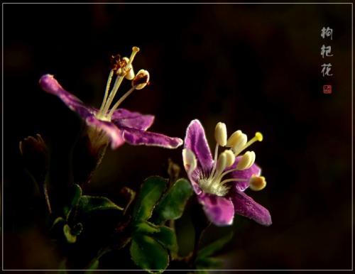 ...常见咖啡花不常见   板蓝根   并蒂莲   葱常吃葱花不常见 ...