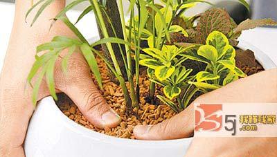 矿泉水瓶变身低碳砖 空杯子可做节水花盆  水培绿巨人  黄花矶松栽培图片