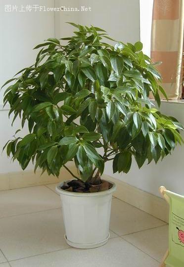 平安树的家庭栽培及其养护