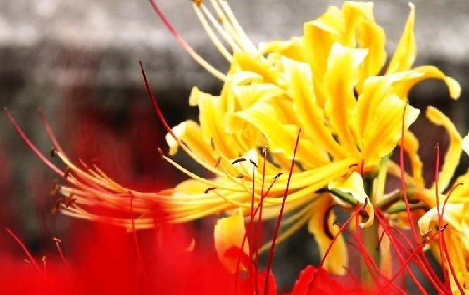 曼陀罗花 花语 传说_金色曼陀罗的花语:敬爱-时尚花艺-中国园林网