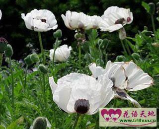 白色的虞美人:象征着安慰、慰问