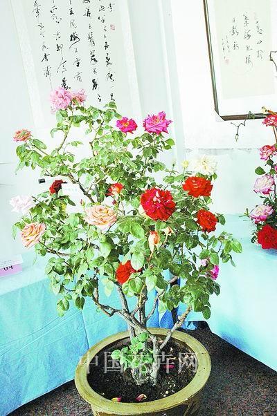 河南:嫁接什锦月季开出多色花