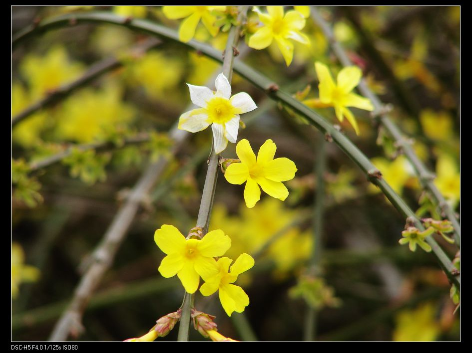 迎春花的繁育