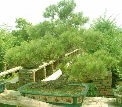 盆景欣赏--松树