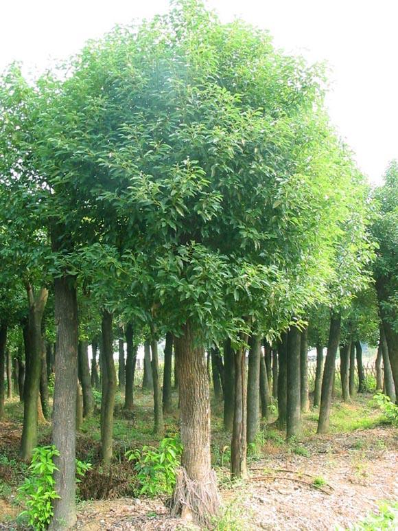 香樟树怎么繁殖