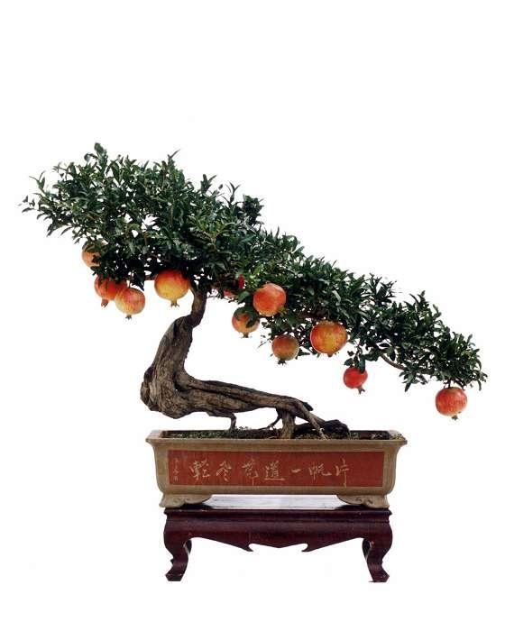 【转载】石榴树盆景欣赏  - rylihongwei - 闲云野鹤 的博客