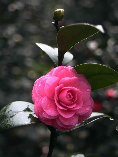 有牡丹茶,七星茶,十八学士等珍贵茶花品种300多个,是以茶花种植为主的