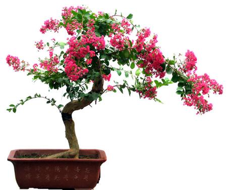for Bonsai in vendita online