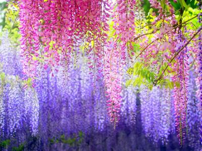 """紫藤(豆科,落叶攀援灌木):鲜花瓣以糖浸渍制饼,如北京""""藤萝"""