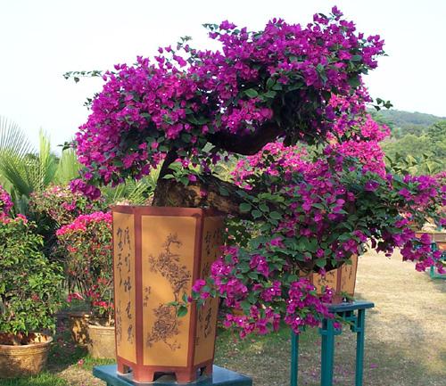 勒杜鹃盆景欣赏