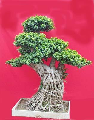 榕树盆景养护方法