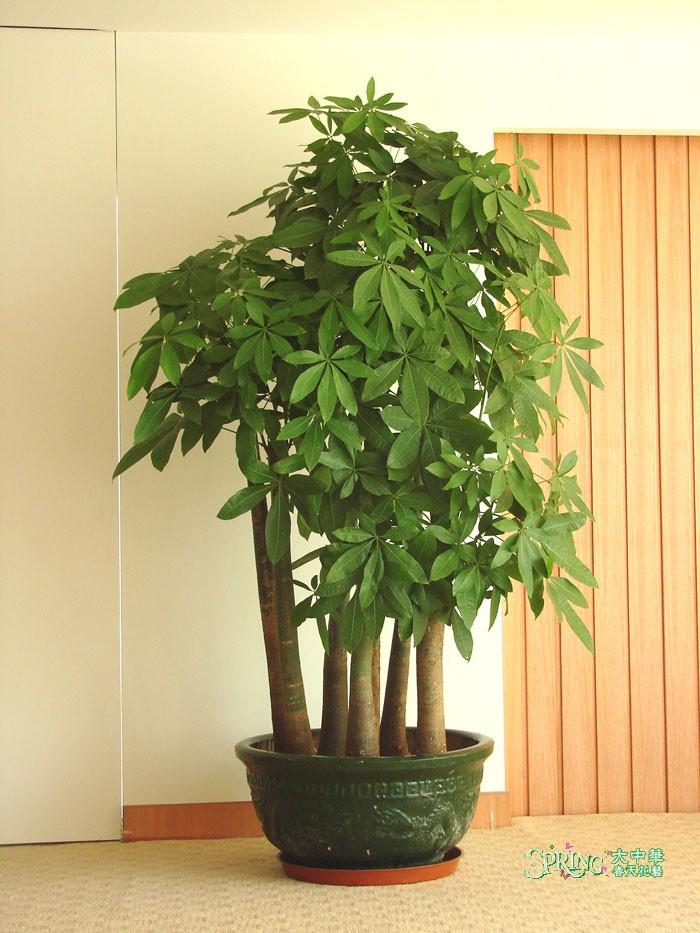 冬季对于发财树来说一个月一次或不干不浇,适当的增加叶面的喷水来