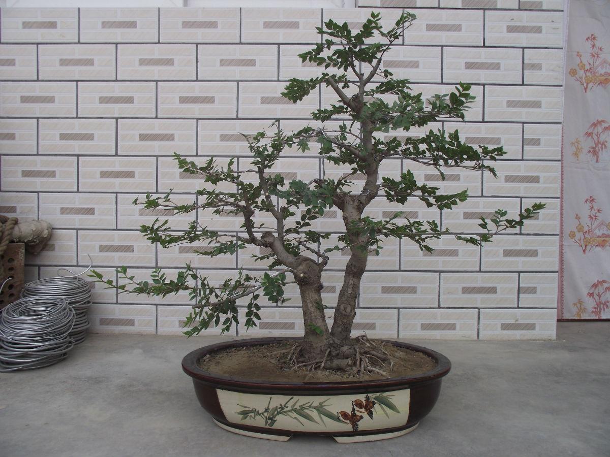 榆树盆景欣赏图片