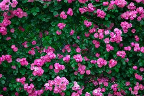 花园》景点对面,有个美丽的花墙,镶嵌着满墙红的,粉的,橙色的月季花
