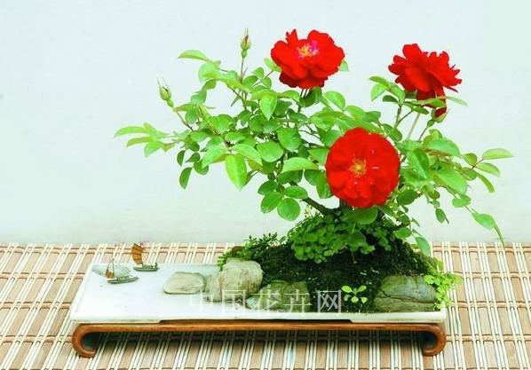 月季花盆景图片图片